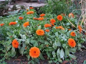 Как выращивать календулу из семян в домашних условиях
