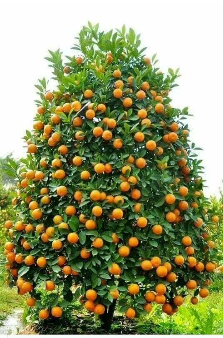 Мандариновое дерево - как правильно ухаживать в домашних условиях, грунт и удобрения