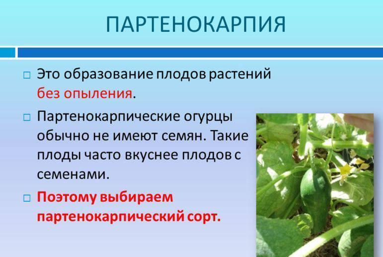 Партенокарпические огурцы: виды, особенности выращивания
