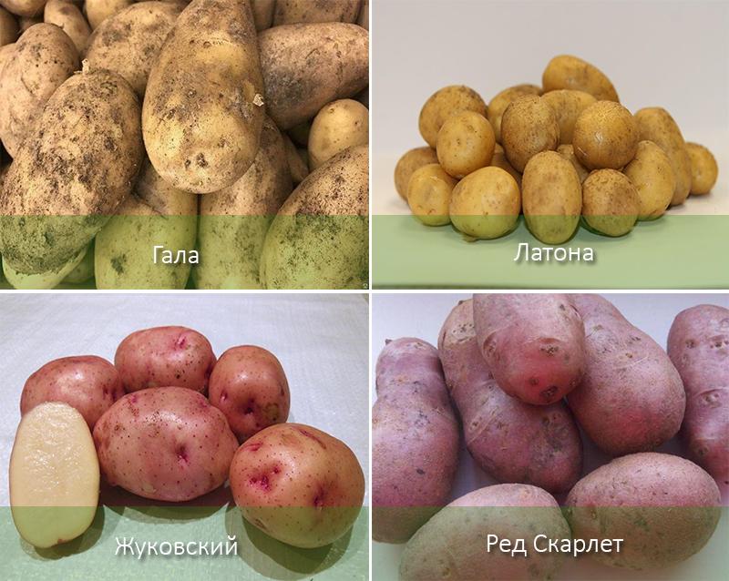 сорта картофеля в картинках с описанием