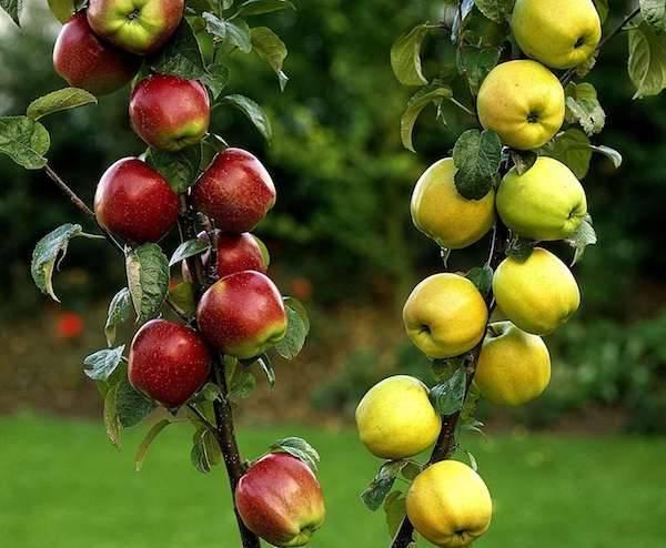 Яблоня мельба: описание сорта, посадка, выращивание и уход