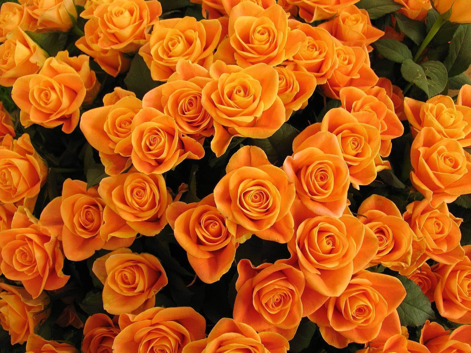 Кустовые розы (62 фото): сорта садовых роз, особенности мелкоцветковых растений. обрезка кустов осенью на зиму, зимнее укрытие для растений