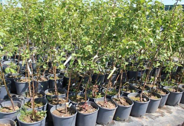 Посадка яблонь весной: от покупки саженцев до тонкостей высадки культуры
