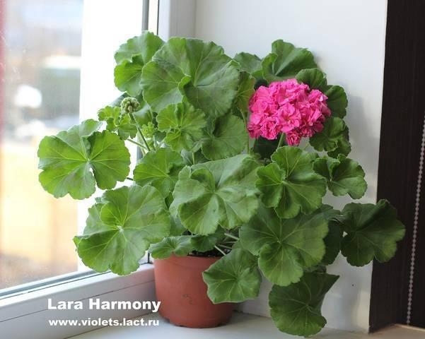 О пеларгонии lara harmony (лара хармони): описание и характеристики сорта, уход