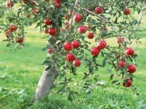 Советы профессионалов, как вырастить яблоню из веток