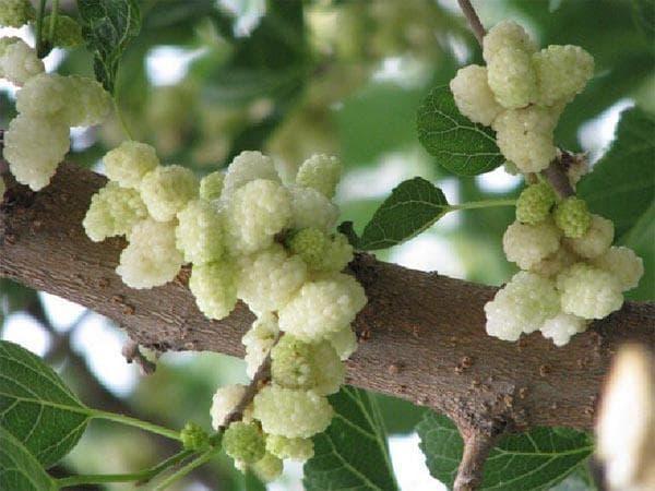 Шелковица: описание 3 популярных видов, выращивание в средней полосе, размножения и уход, полезные свойства (50+ фото & видео) +отзывы