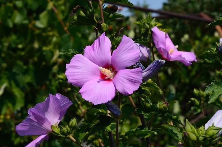 Суданская роза – чай и лекарство