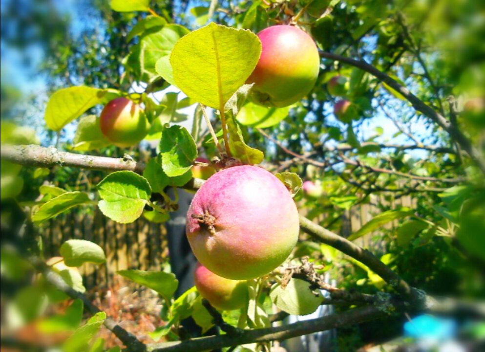 Советы экспертов, что делать, если сохнут яблони?