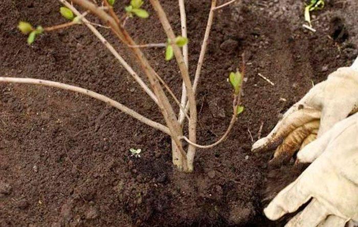 Все о выращивании калины в открытом грунте: как посадить и ухаживать,