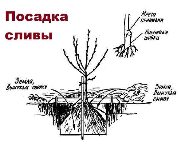 Как правильно посадить сливу осенью: пошаговое руководство