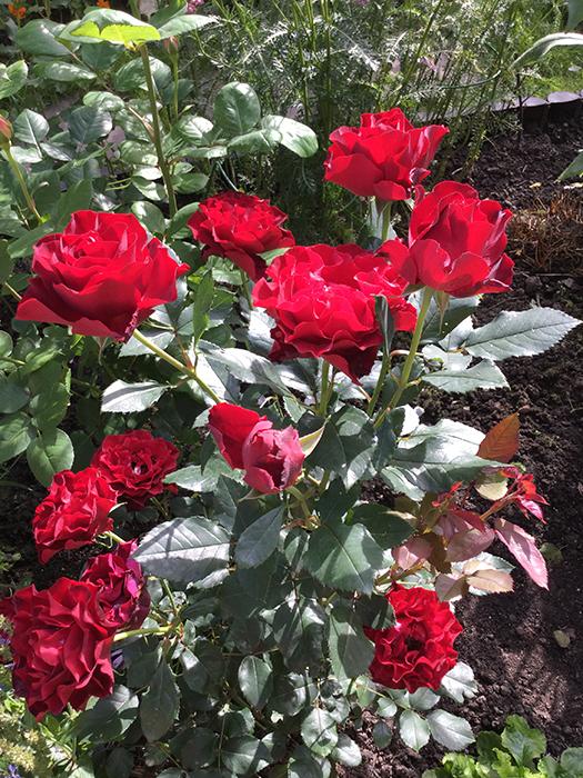 Роза омаж барбара