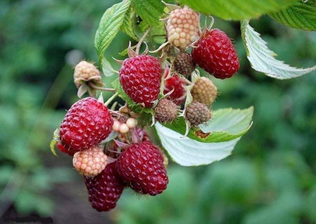 Гигант московский — крупноплодная бесшипная малина: особенности выращивания, урожайность