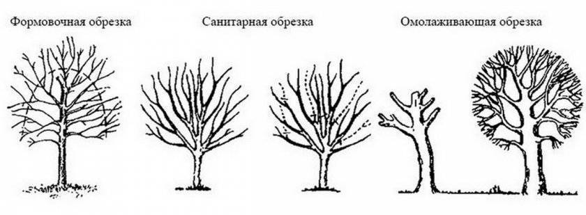 Обрезка вишни – формируем правильную крону год за годом