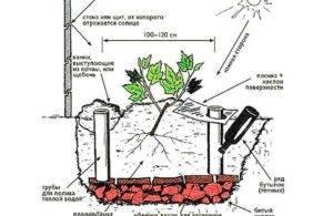 Как ухаживать за виноградом на урале. как сажать и как выращивать