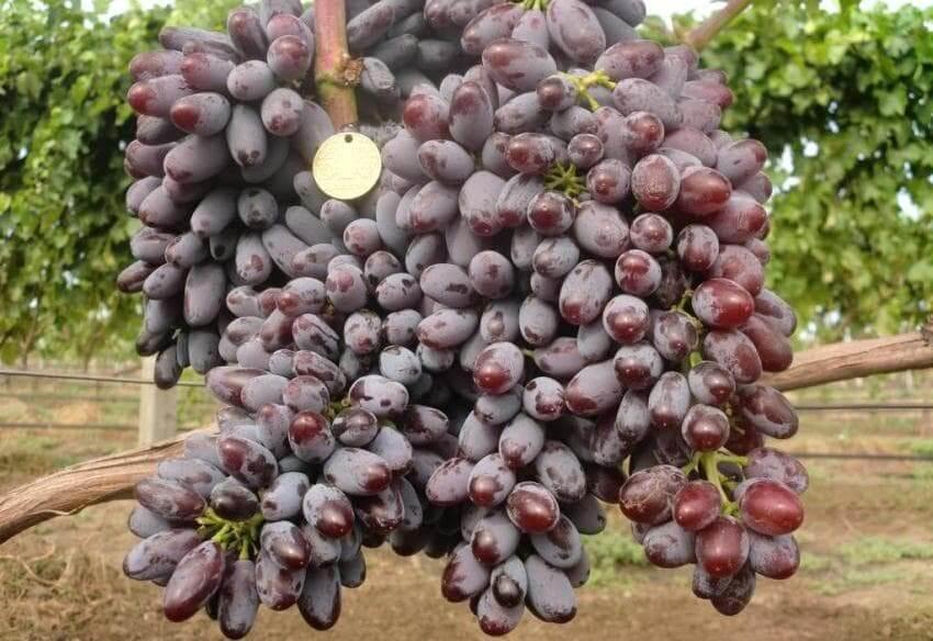 """Виноград """"кишмиш юпитер"""": фото, описание сорта, защита от вредителей и болезней"""