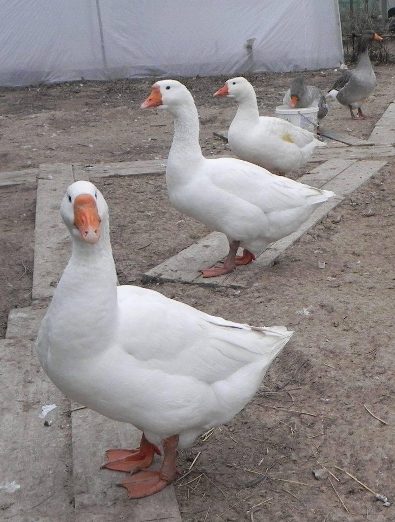 Домашний гусь — советы начинающим по уходу и содержанию птицы (видео + 90 фото)