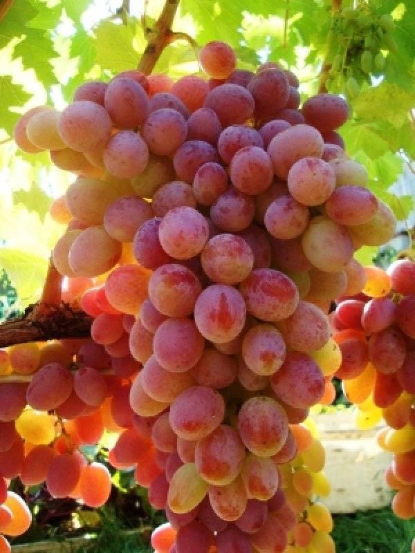 Виноград гелиос: описание сорта, его особенности и характеристики, подверженность заболеваниям и меры борьбы с вредителями, а также фото и полезное видео