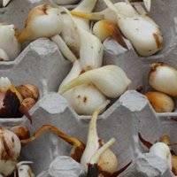 Выращивание тюльпан из луковиц — шаг за шагом