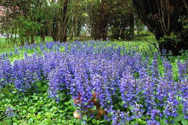 Живучка: правила ухода за растением
