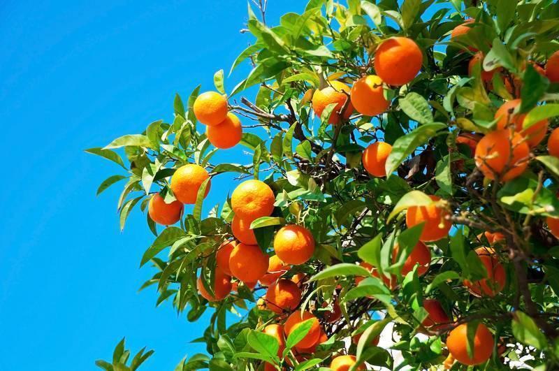Как вырастить апельсины дома на подоконнике