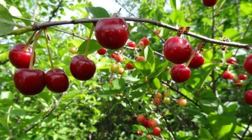 Выбираем лучшие сорта вишни для подмосковья: описание, фото, отзывы