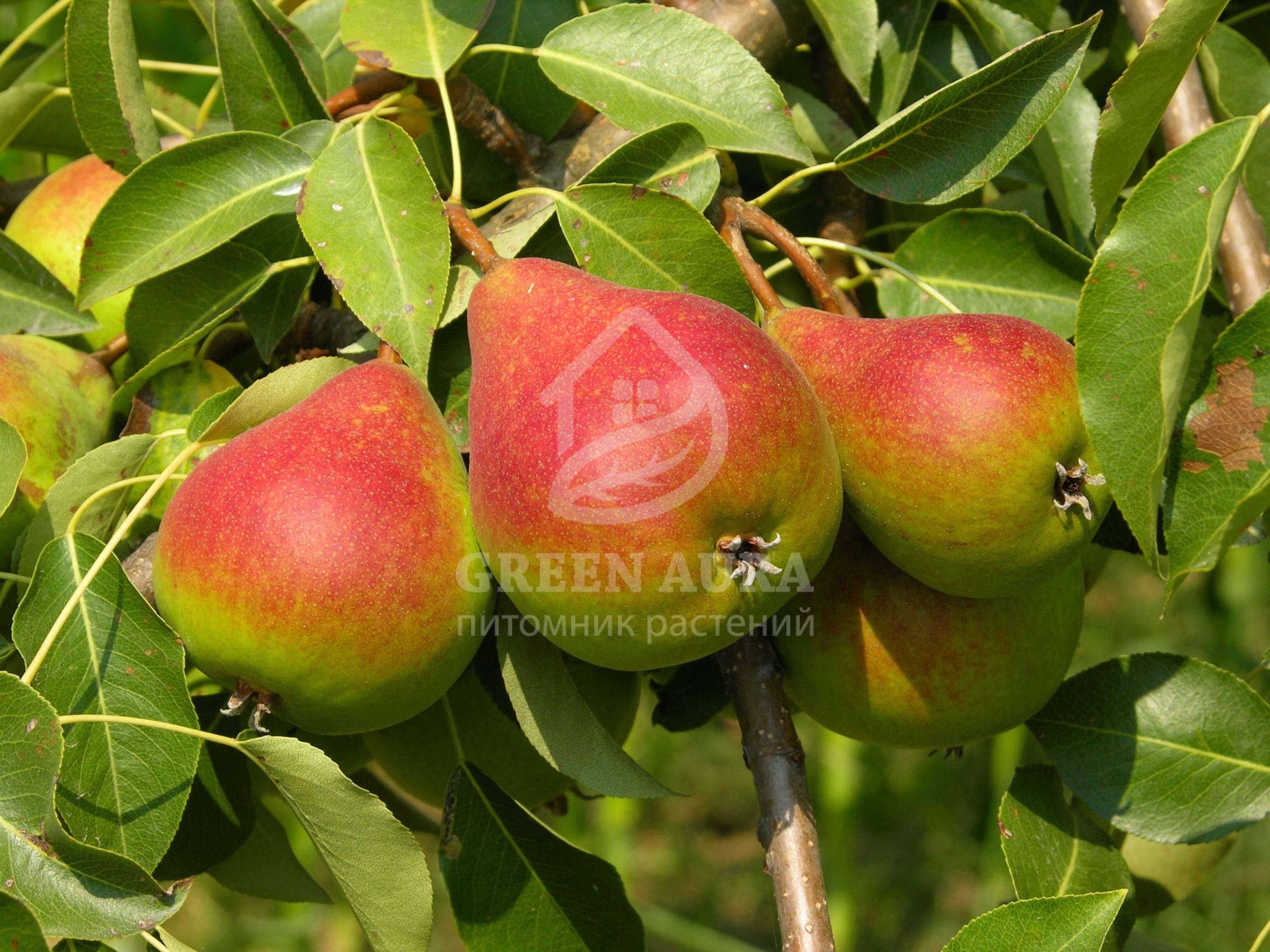 Груша лесная красавица — долголетняя и урожайная