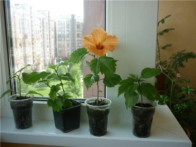 Размножение гибискуса: как размножить его черенками в домашних условиях? как укоренить китайскую розу?