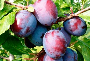 О сливе Волжская Красавица: описание сорта, агротехника выращивания