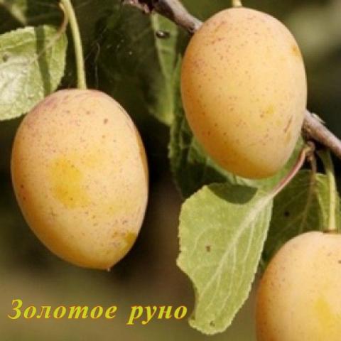 Сорта сливы для карелии. слива в ленинградской области: выбор лучшего сорта, нюансы посадки и ухода в условиях северо-запада. сладкие сливы в северном саду
