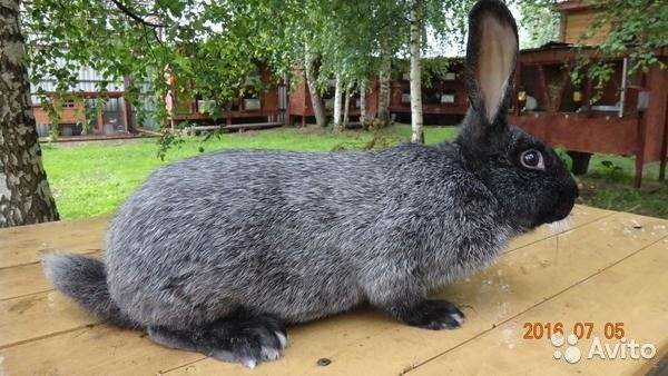 Кролики мясных пород: как выбрать, виды, особенности и описание пород