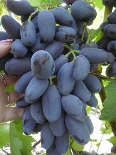 Красивые и нарядные гроздья — визитная карточка винограда «байконур»
