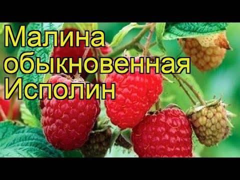 Описание сорта малины исполин или гордость россии - общая информация - 2020