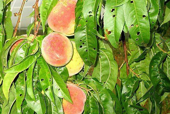 Почему опадают еще зеленые, недозрелые абрикосы: каковы причины, что делать