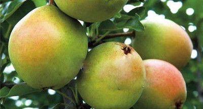 Ботаническое описание и характеристика сорта груши брянская красавица