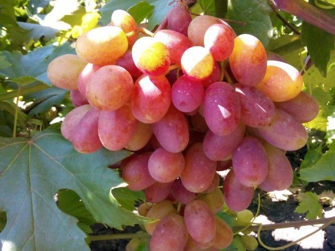 Ранний виноград «преображение»: описание сорта, характеристики и фото