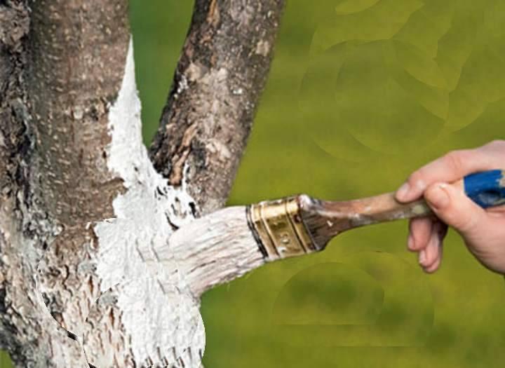 Как очистить ствол яблони от лишайника. лишайник на яблоне —, как избавиться?