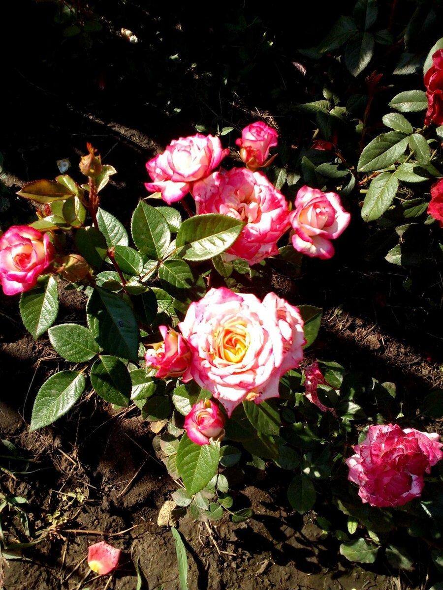 Как правильно поливать розы: 14 шагов