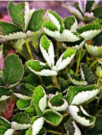 Сохнут и скручиваются листья у клубники