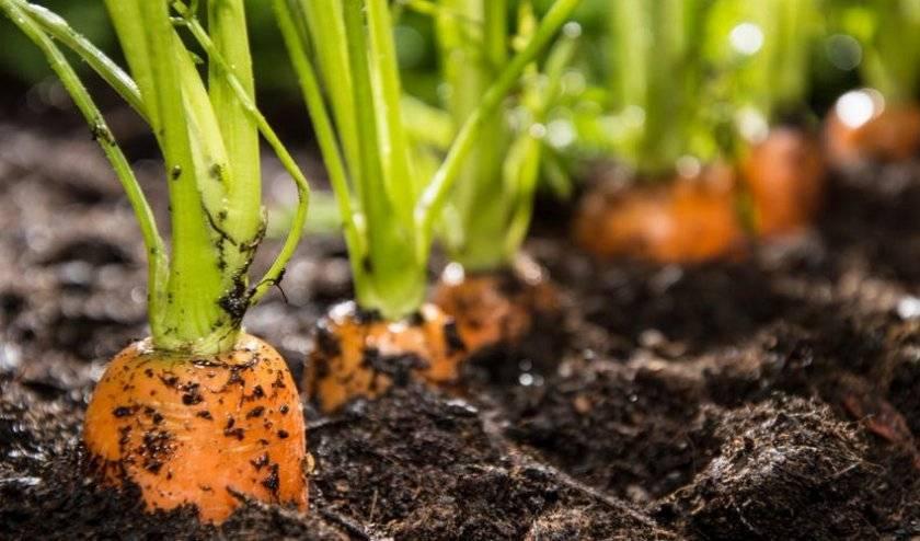 После каких культур можно сажать морковь на следующий год: лук, капуста, чеснок