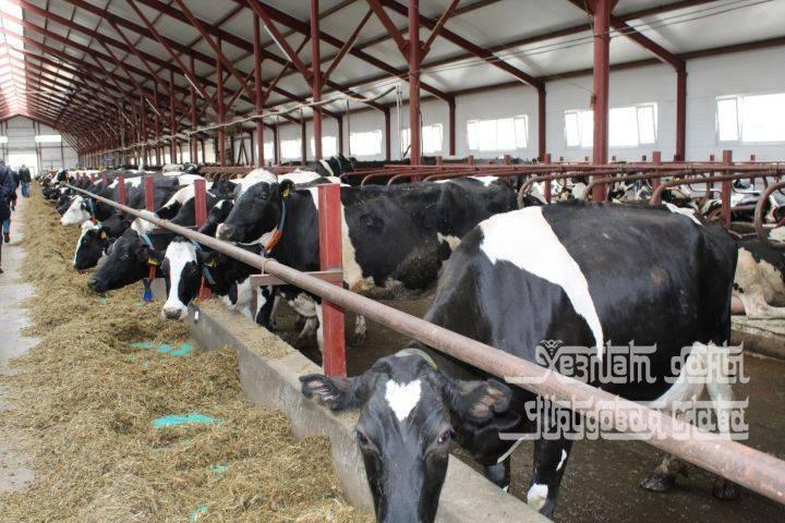 Сколько молока дает корова в сутки. повышаем надои