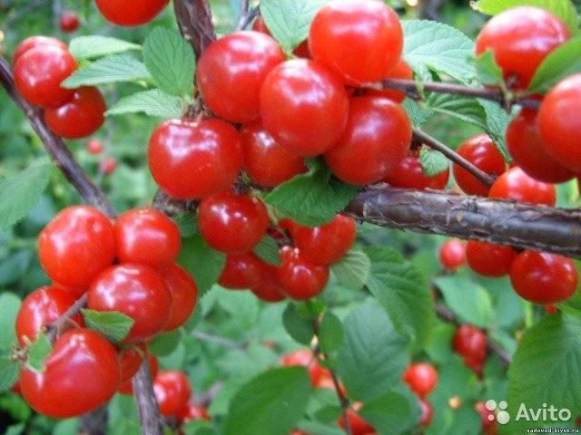 Выращивание вишни бессеи в саду, лучшие советы по посадке и уходу