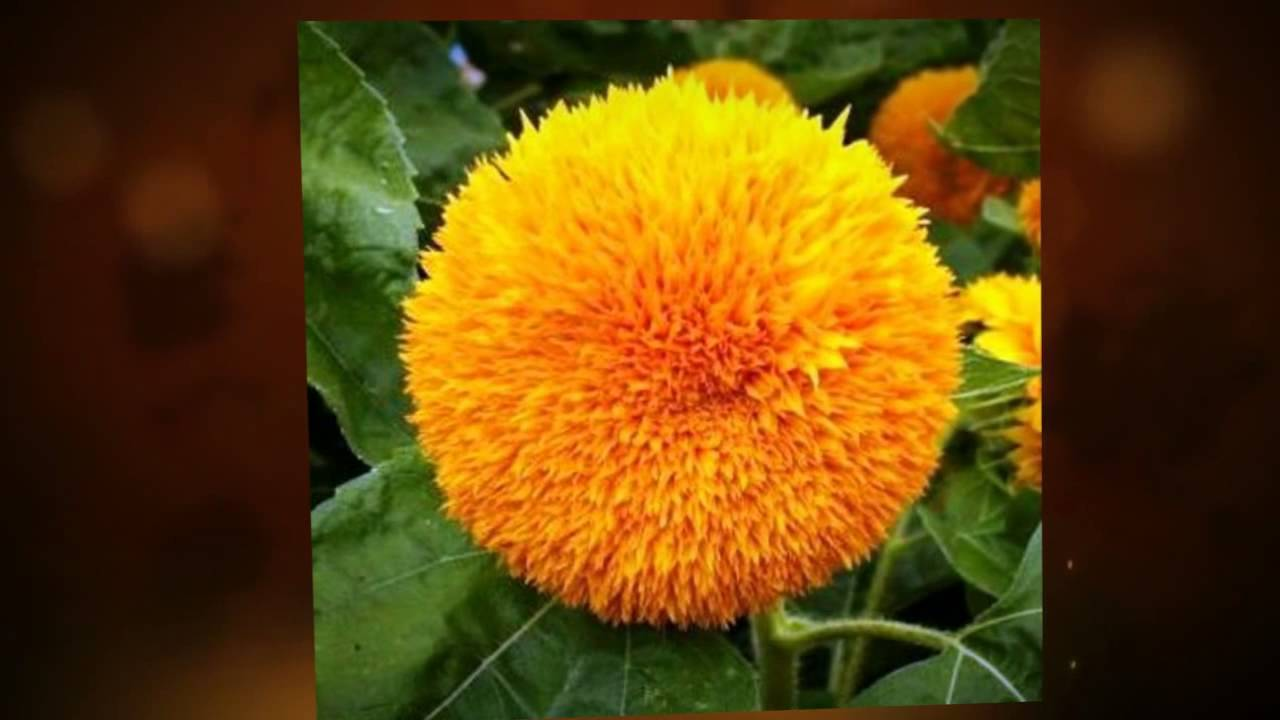Щелкаем домашние семечки круглый год! все тонкости выращивания подсолнечника на даче