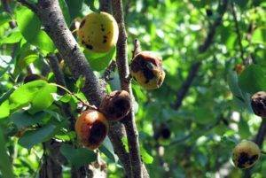 Гниют плоды абрикоса на дереве: что делать и чем лечить? - ты-фермер