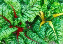 Мангольд: выращивание и уход - подробная инструкция!