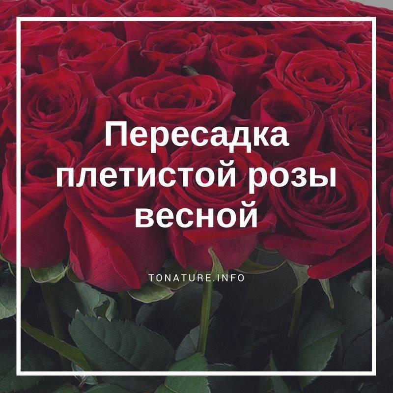 Когда лучше пересаживать розы — советы и рекомендации