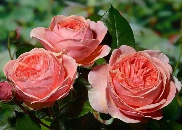 О розе Чиппендейл (Chippendale): описание и характеристики, выращивание