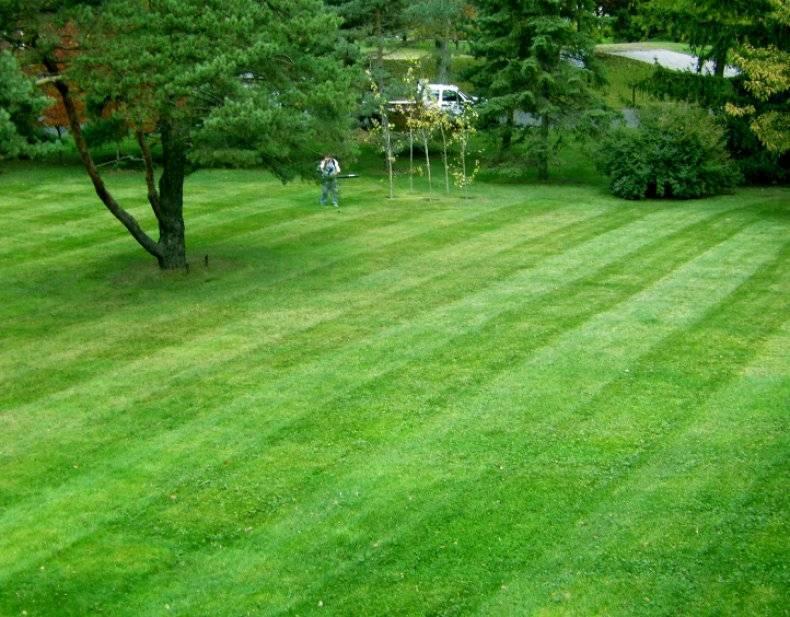 Низкорослая трава декоративная. полевица побегоносная