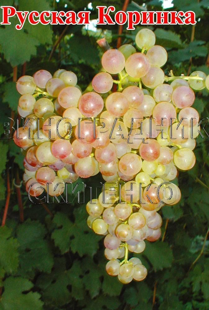 Описание и характеристики сорта винограда коринка русская, преимущества и недостатки, выращивание