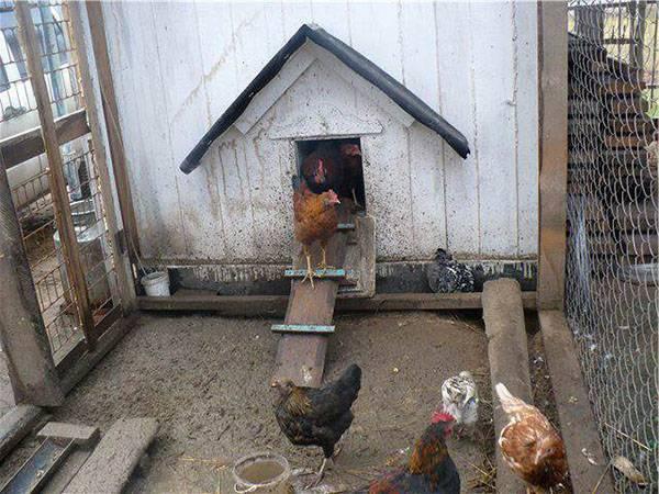 Выращивание кур в домашних условиях для начинающих - подробная инструкция!