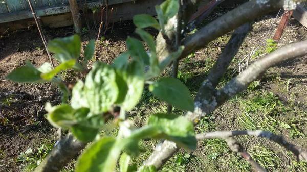 Отчет агрономов: почему чернеет ствол яблони и что делать?